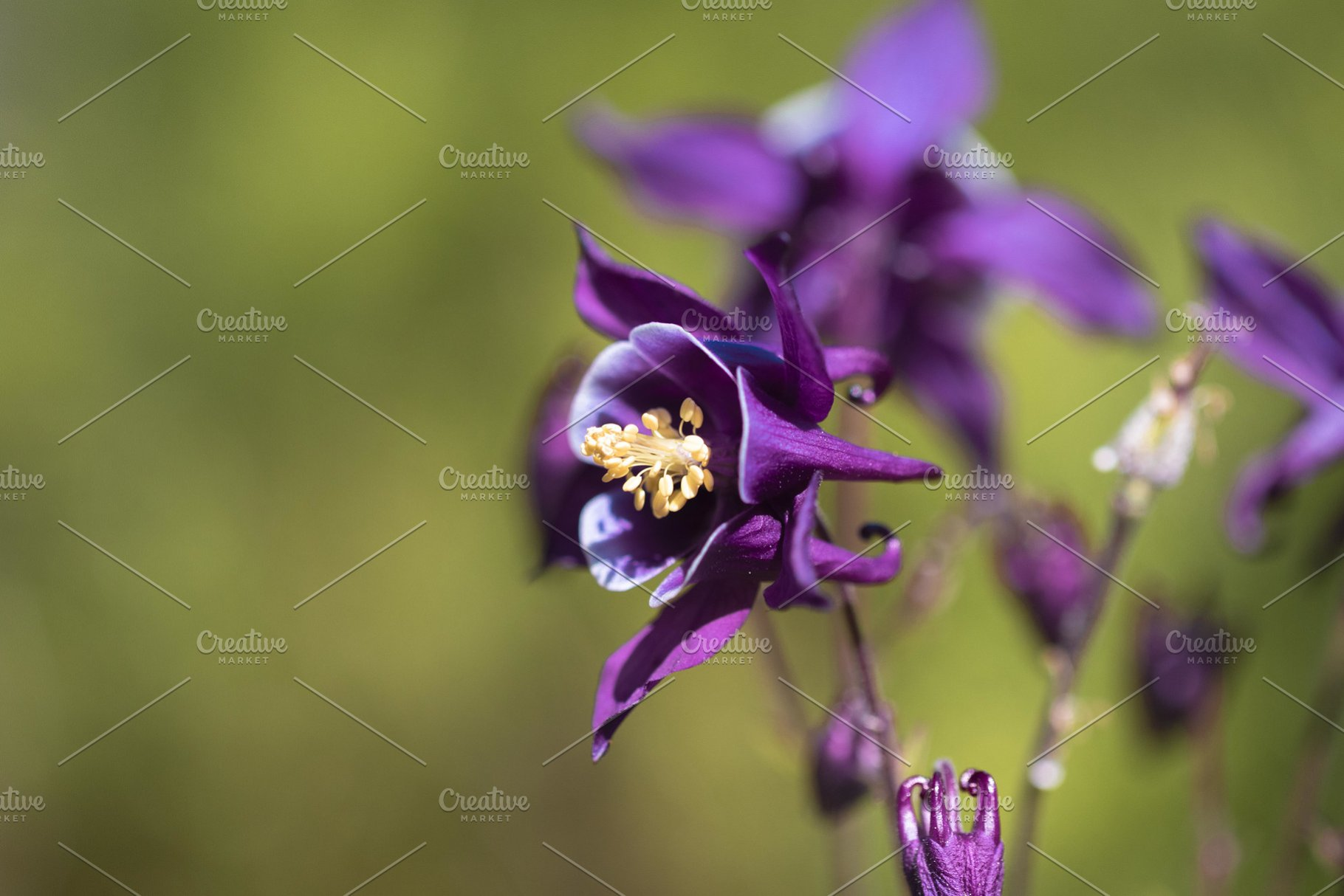 Purple European Columbine Ii High Quality Stock Photos