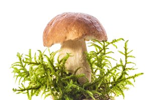 boletus isolated