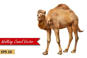 Domestic Camel. Vector