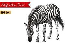 Zebra Eating Grass. Vector