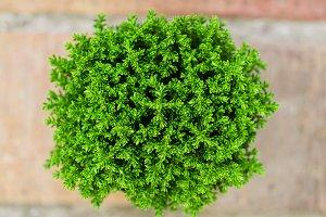 Hebe Green Globe plant