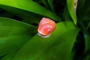 Orange snail