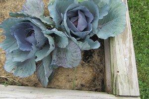 Purple cabbage in rustic garden