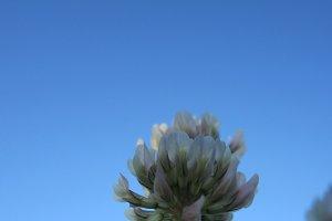 Dutch clover flower against blue sky