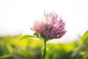 Clover and sunlight
