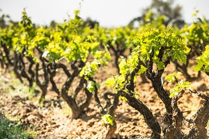 Vineyard landscape