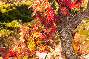 La Rioja vineyard