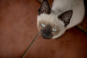Blue eyes cat looking up