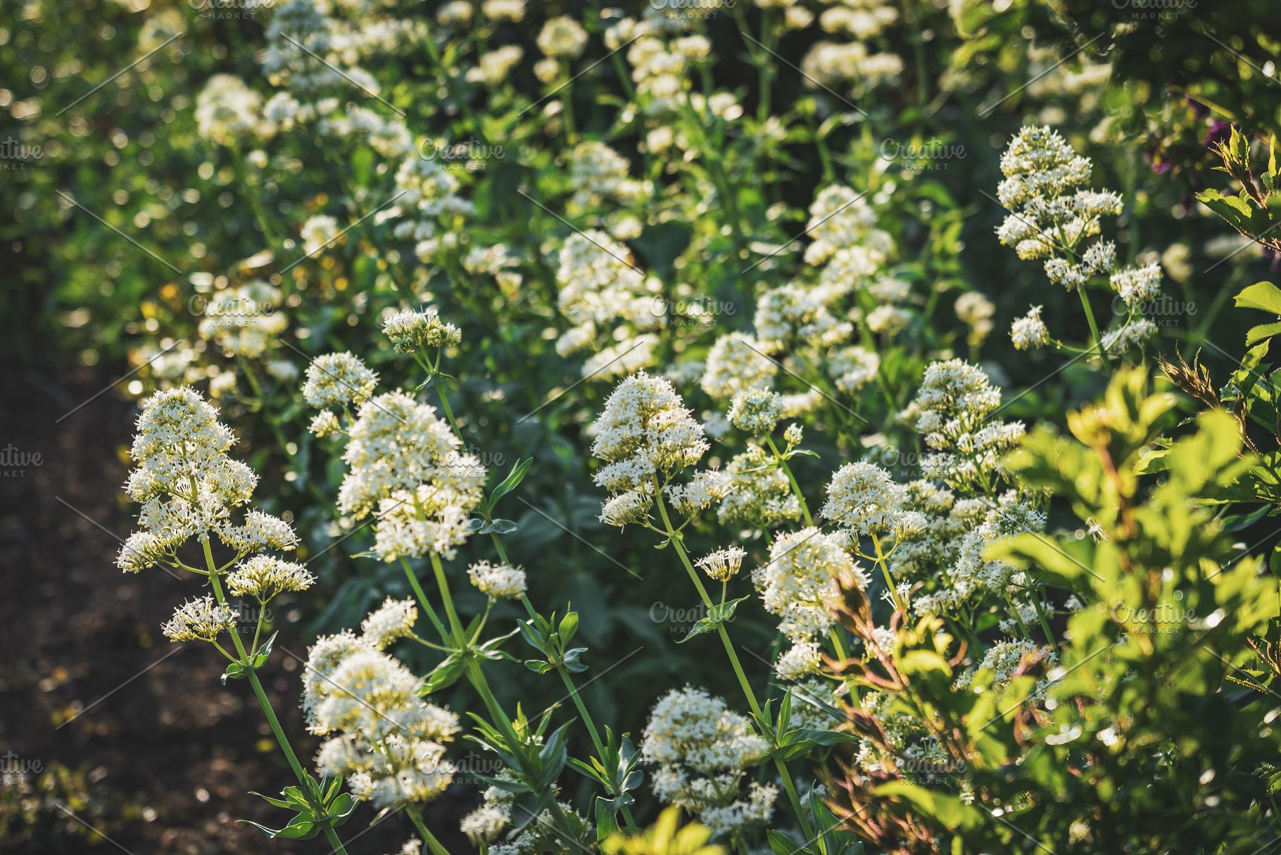White Flower Bushes High Quality Nature Stock Photos Creative