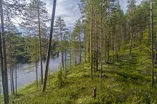 Pine trees on a bank of forest lake