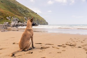 Belgian Malinois dog sitting (beach)