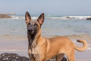 Belgian Malinois dog in the beach