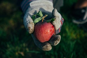 Apple in Gloved Hand