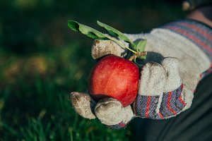 Freshly Picked Apple