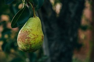 Homegrown Pear on Branch
