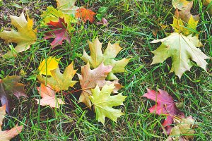 Fallen leaves: autumn background