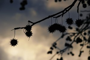 Silhouetted Pods (Photo)