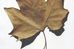 Dried leaf on white background