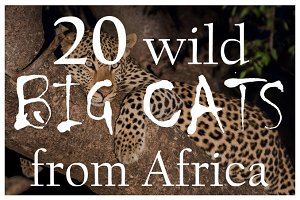 Wild big cats from Africa | Pack #1