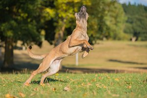 Belgian Malinois dog jumping