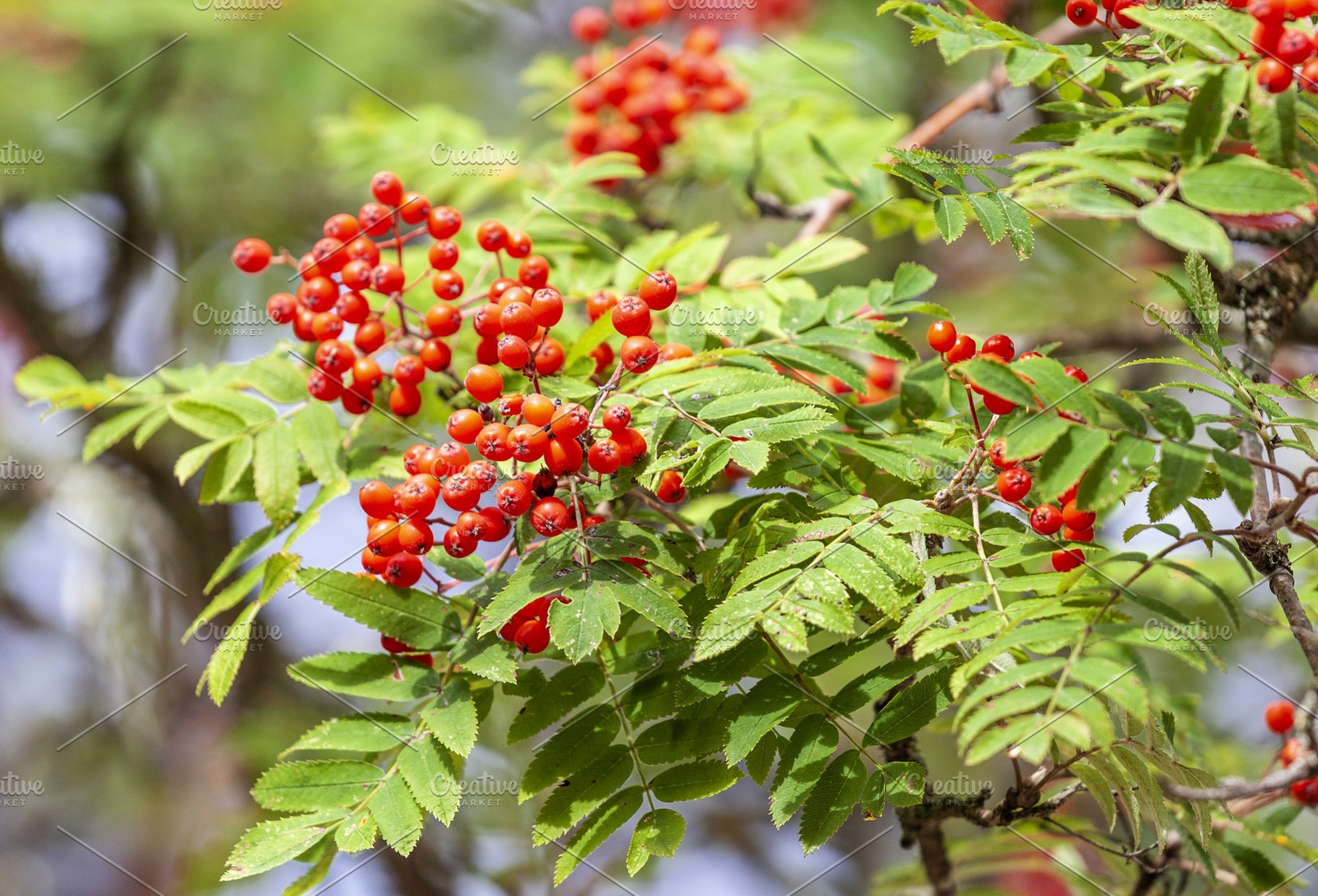 Rowan Tree With Red Berries High Quality Nature Stock Photos
