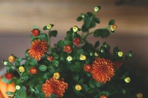 Autumn Mums 3