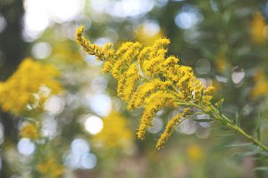 Goldenrod Bloom