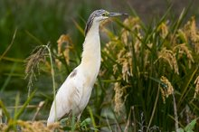 A Squacco Heron (Ardeola ralloides) in rice fields.jpg