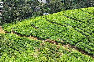 Tea plantation,Sri Lanka