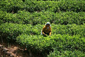 Picker in Tea plantation,Sri Lanka