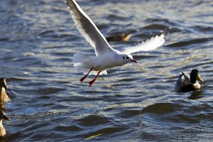 Flying bird seagull