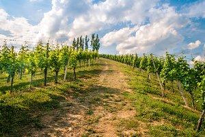 Vine hills