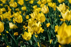 Yellow Tulips under the sun