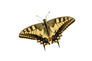 Swallowtail butterfly isolated