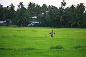 Man in rice field,Sri Lanka