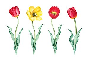 Watercolor illustrations of tulips