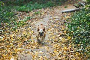 English Bulldog running in nature