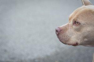 Sweet pitbull