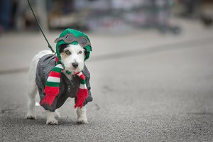 Dog dressed for Halloween