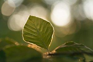 Leaf and light