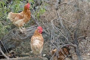 Closeup of hens  on a dry tree.