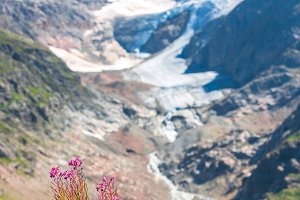 Swiss Alps with wild pink flowers