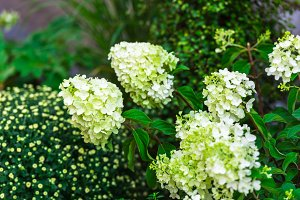White hydrangea flowers bush
