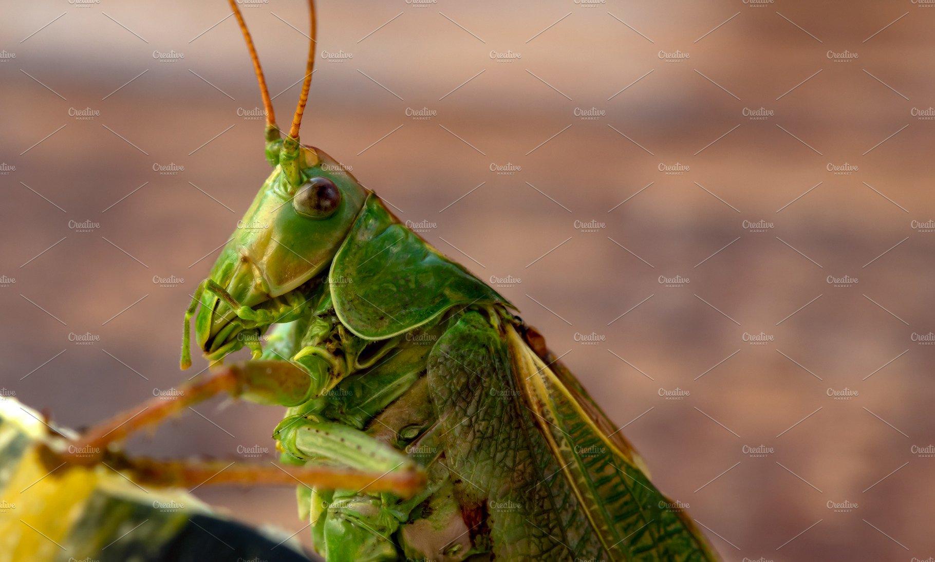 Green garden locust