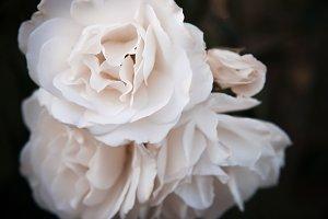 White Roses (Photo)