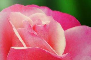 Pink Rose (Photo)