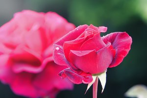 Neon Red Rose (Photo)