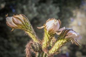 Cactus Blossoms (Photo)