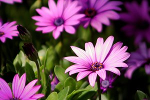 Purple Daisies (Photo)