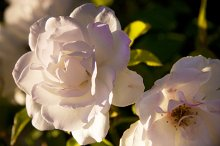 Golden White Roses (Photo)